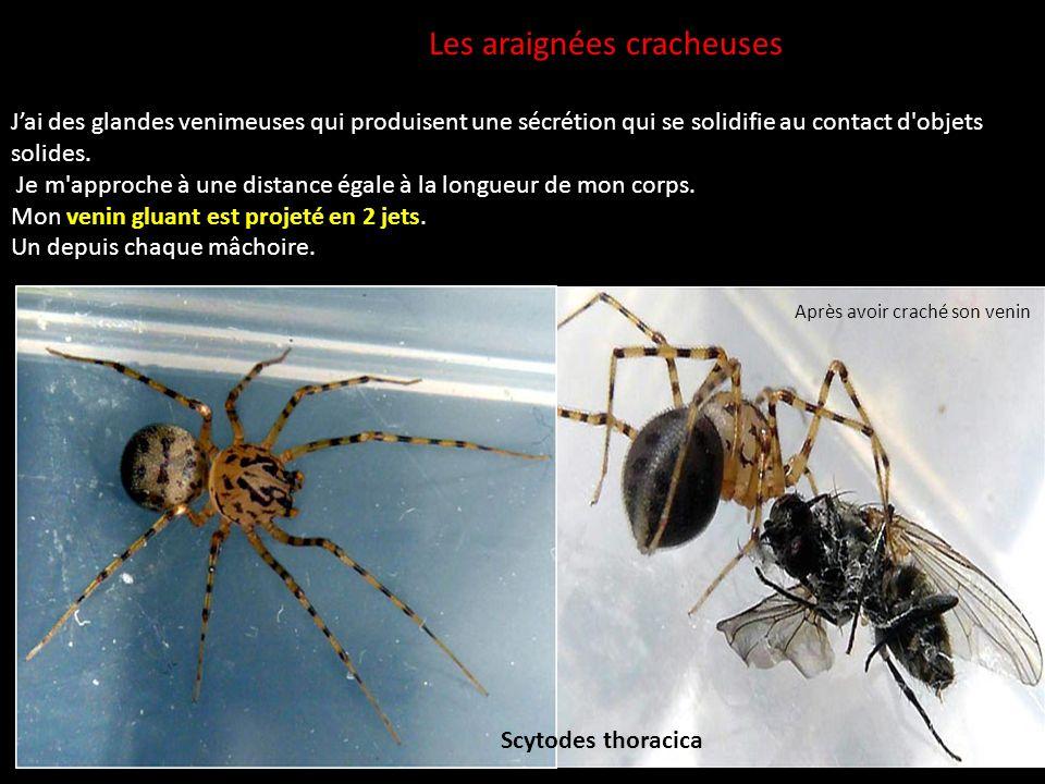 Les araignées cracheuses