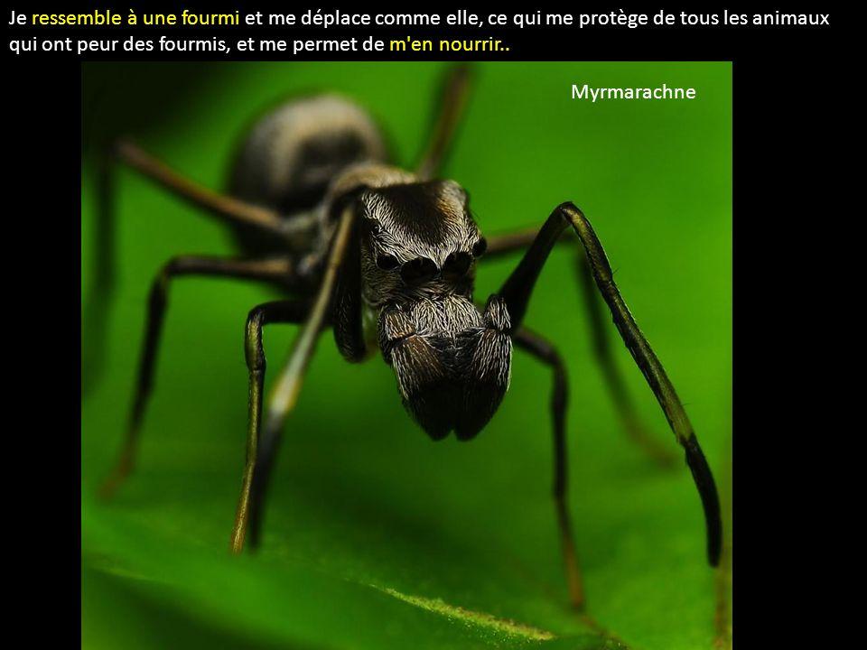 Je ressemble à une fourmi et me déplace comme elle, ce qui me protège de tous les animaux qui ont peur des fourmis, et me permet de m en nourrir..