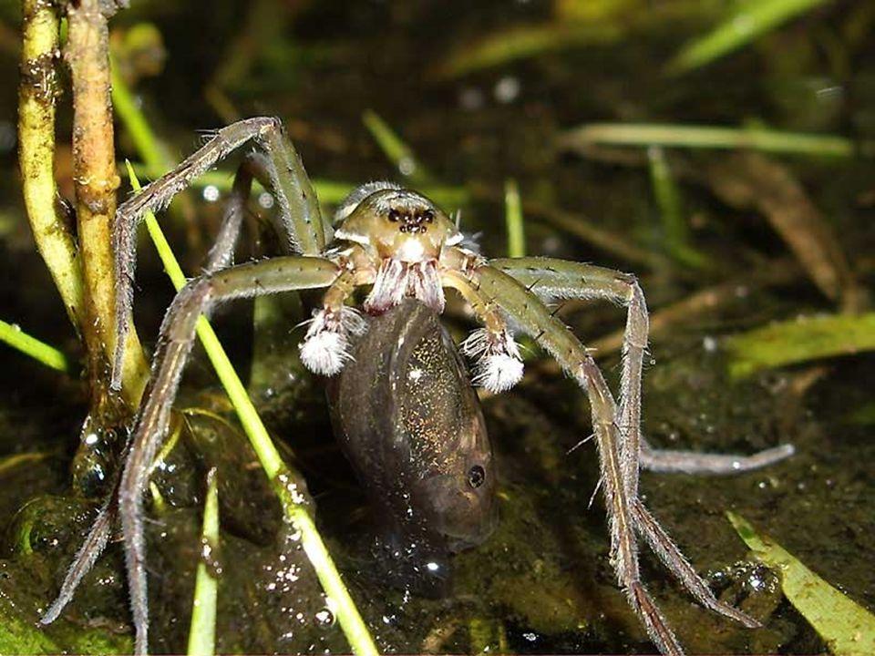 L Argyronète est une araignée ayant la particularité de demeurer sous l eau, dans une couche d air créée par une toile qu elle a liée sous l eau et accrochée à des plantes aquatiques