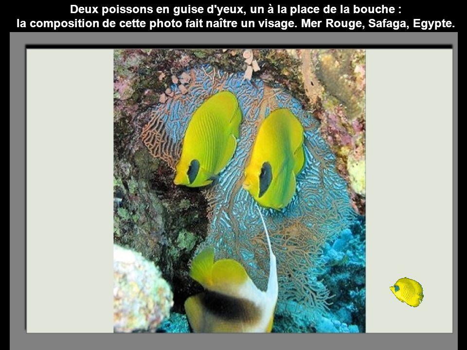 Deux poissons en guise d yeux, un à la place de la bouche :
