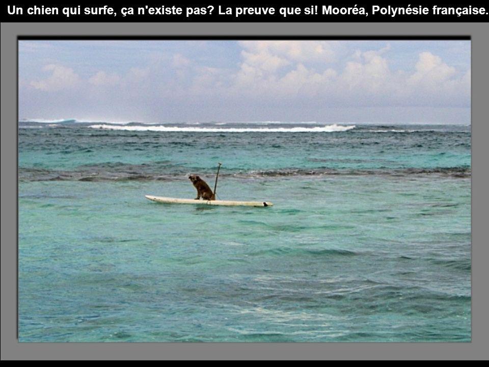 Un chien qui surfe, ça n existe pas. La preuve que si
