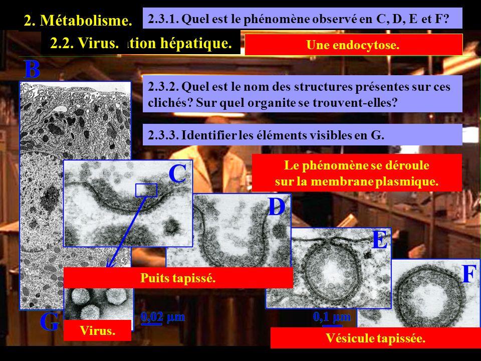 Le phénomène se déroule sur la membrane plasmique.