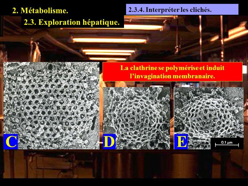La clathrine se polymérise et induit l'invagination membranaire.