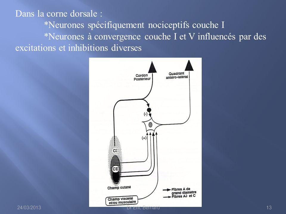 Dans la corne dorsale :. Neurones spécifiquement nociceptifs couche I