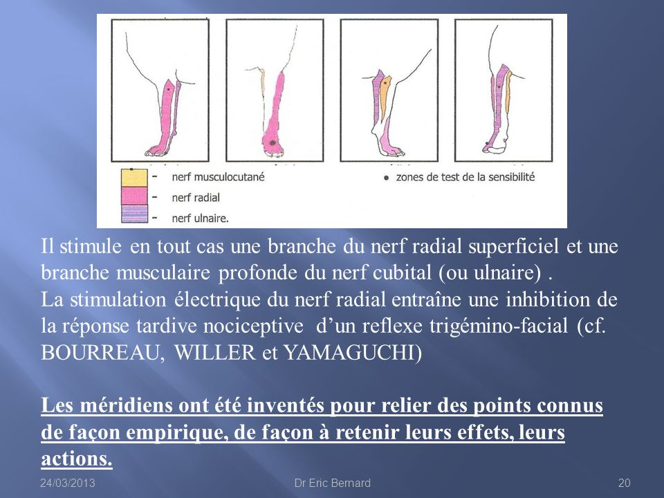 Il stimule en tout cas une branche du nerf radial superficiel et une branche musculaire profonde du nerf cubital (ou ulnaire) . La stimulation électrique du nerf radial entraîne une inhibition de la réponse tardive nociceptive d'un reflexe trigémino-facial (cf. BOURREAU, WILLER et YAMAGUCHI)