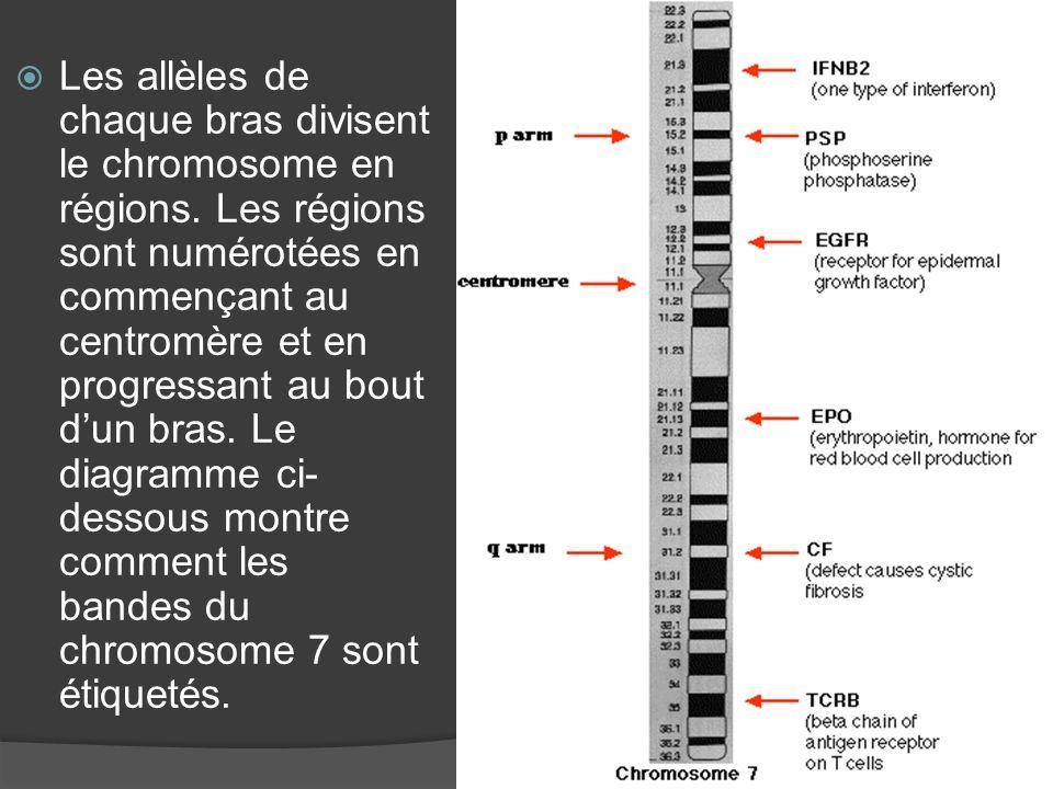 Les allèles de chaque bras divisent le chromosome en régions