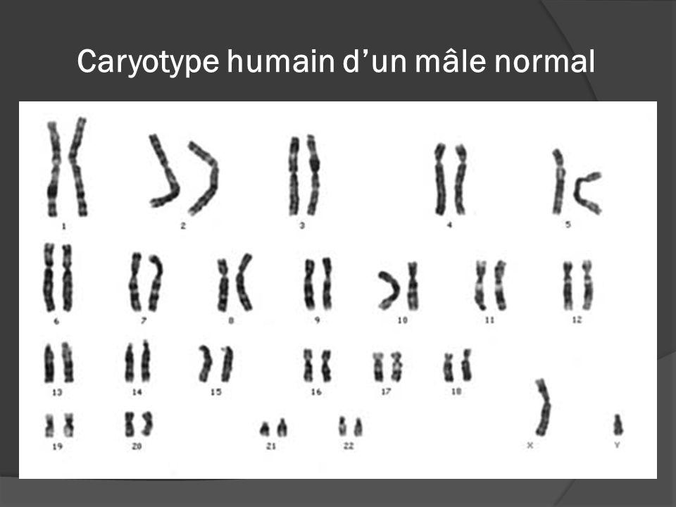 Caryotype humain d'un mâle normal