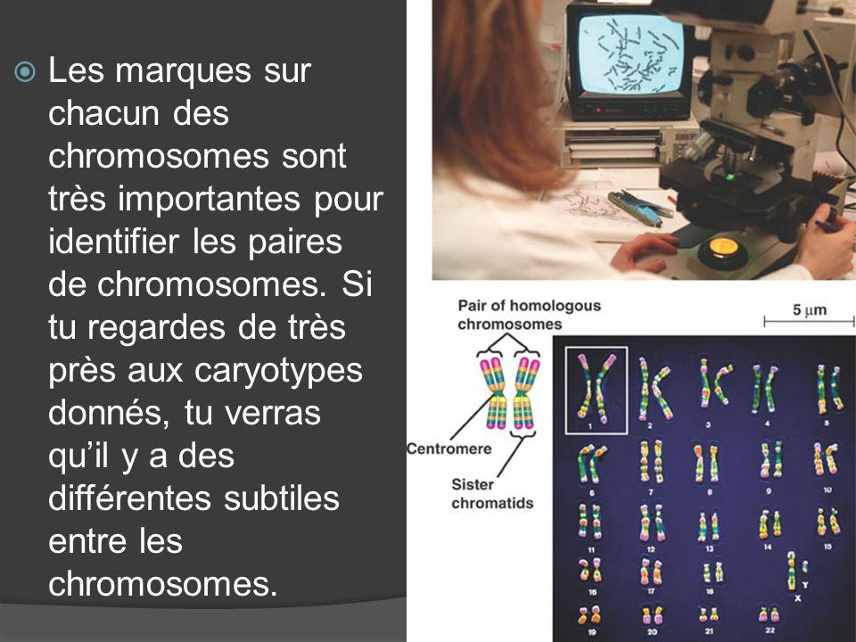 Les marques sur chacun des chromosomes sont très importantes pour identifier les paires de chromosomes.