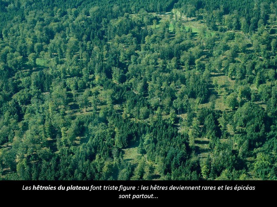 Les hêtraies du plateau font triste figure : les hêtres deviennent rares et les épicéas sont partout...