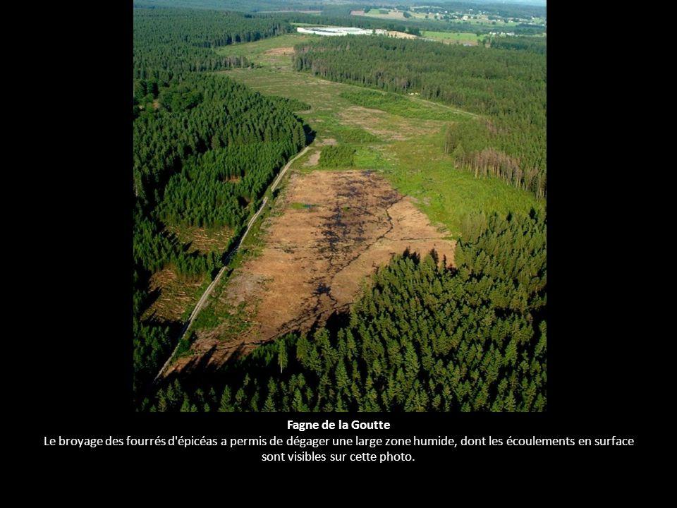 Fagne de la Goutte Le broyage des fourrés d épicéas a permis de dégager une large zone humide, dont les écoulements en surface sont visibles sur cette photo.