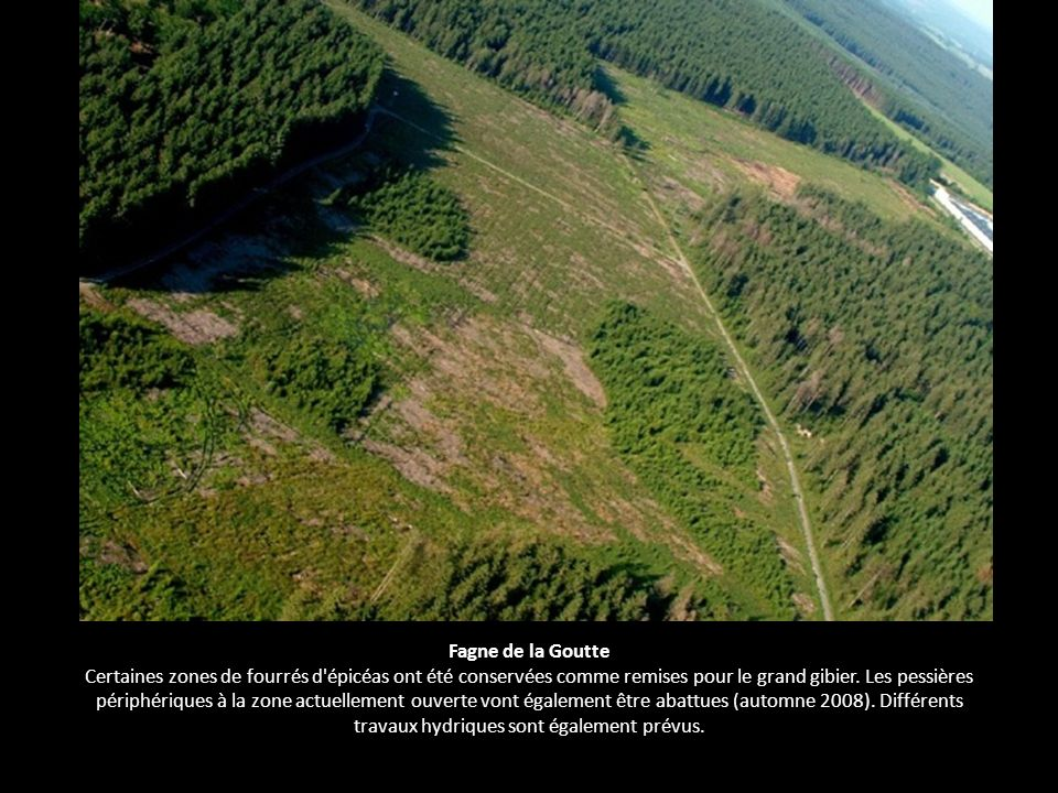 Fagne de la Goutte Certaines zones de fourrés d épicéas ont été conservées comme remises pour le grand gibier.
