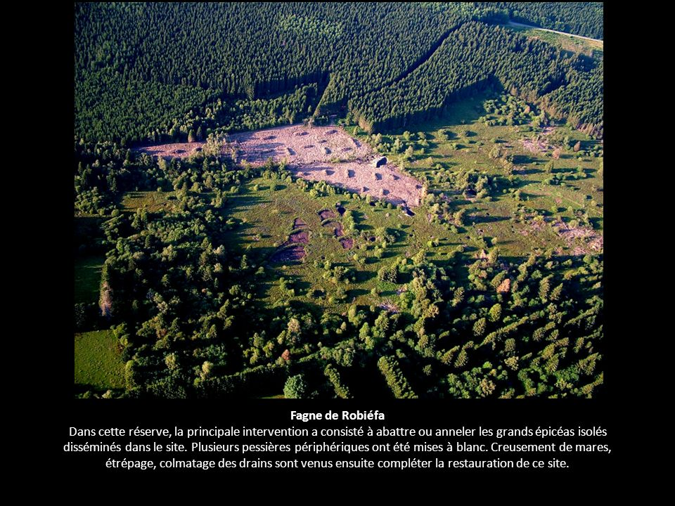 Fagne de Robiéfa Dans cette réserve, la principale intervention a consisté à abattre ou anneler les grands épicéas isolés disséminés dans le site.