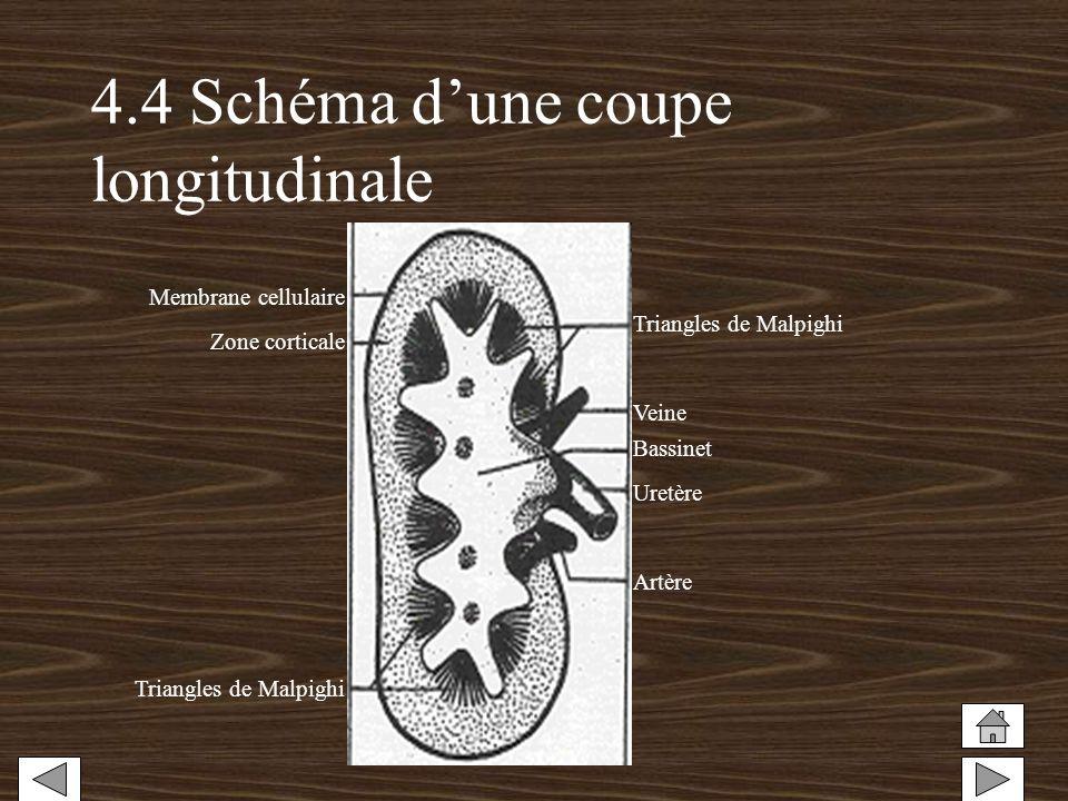 4.4 Schéma d'une coupe longitudinale