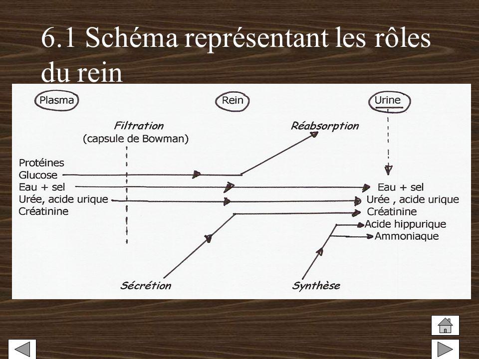 6.1 Schéma représentant les rôles du rein