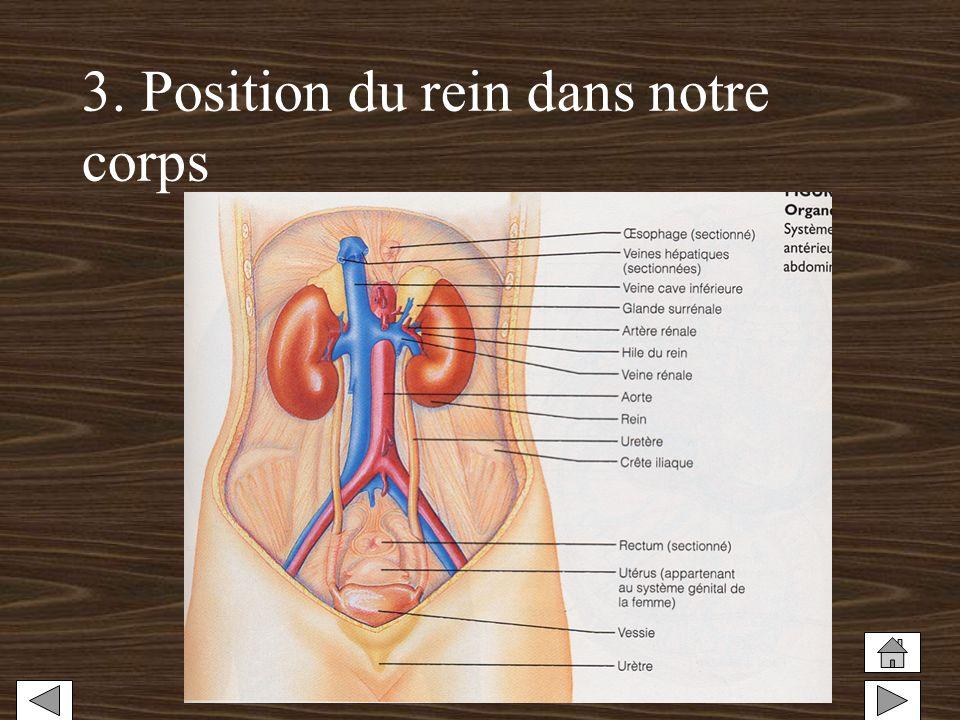 3. Position du rein dans notre corps