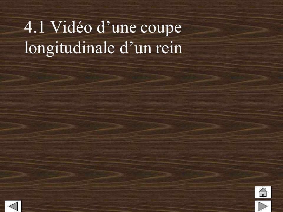 4.1 Vidéo d'une coupe longitudinale d'un rein