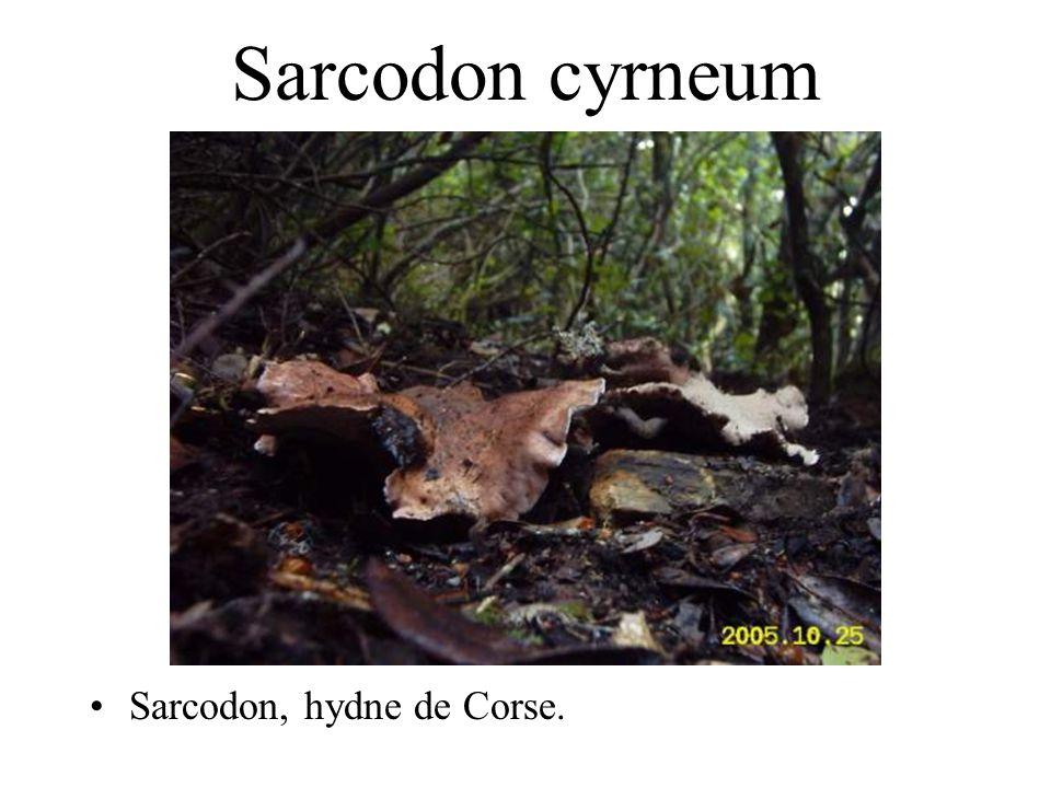 Sarcodon cyrneum Sarcodon, hydne de Corse.