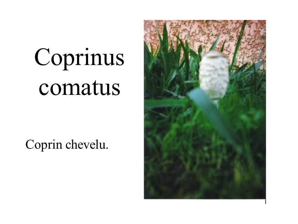 Coprinus comatus Coprin chevelu.