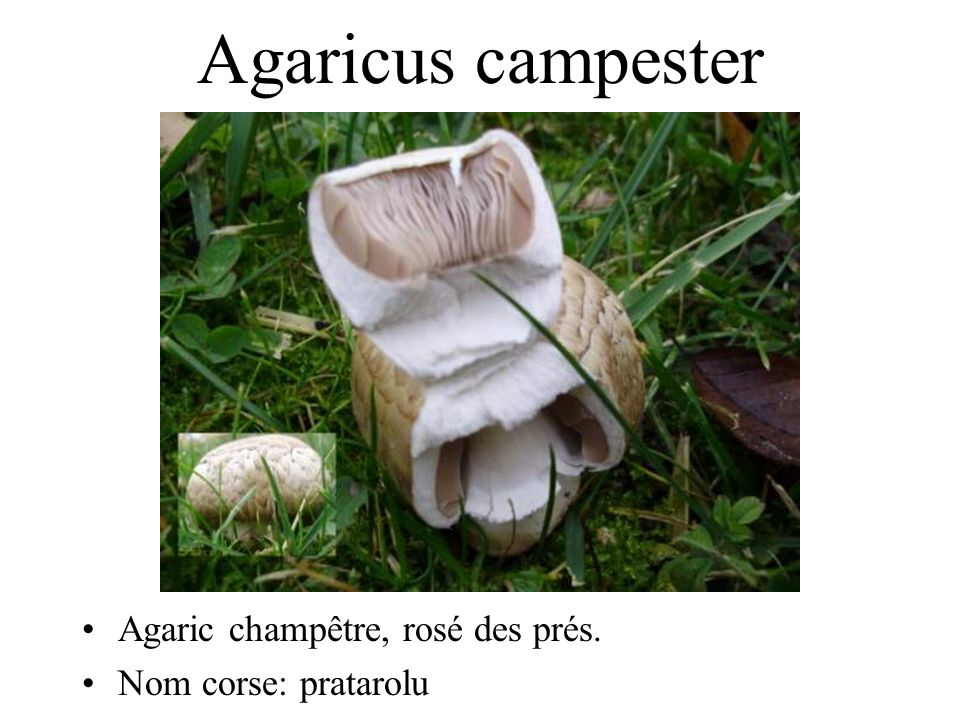 Agaricus campester Agaric champêtre, rosé des prés.