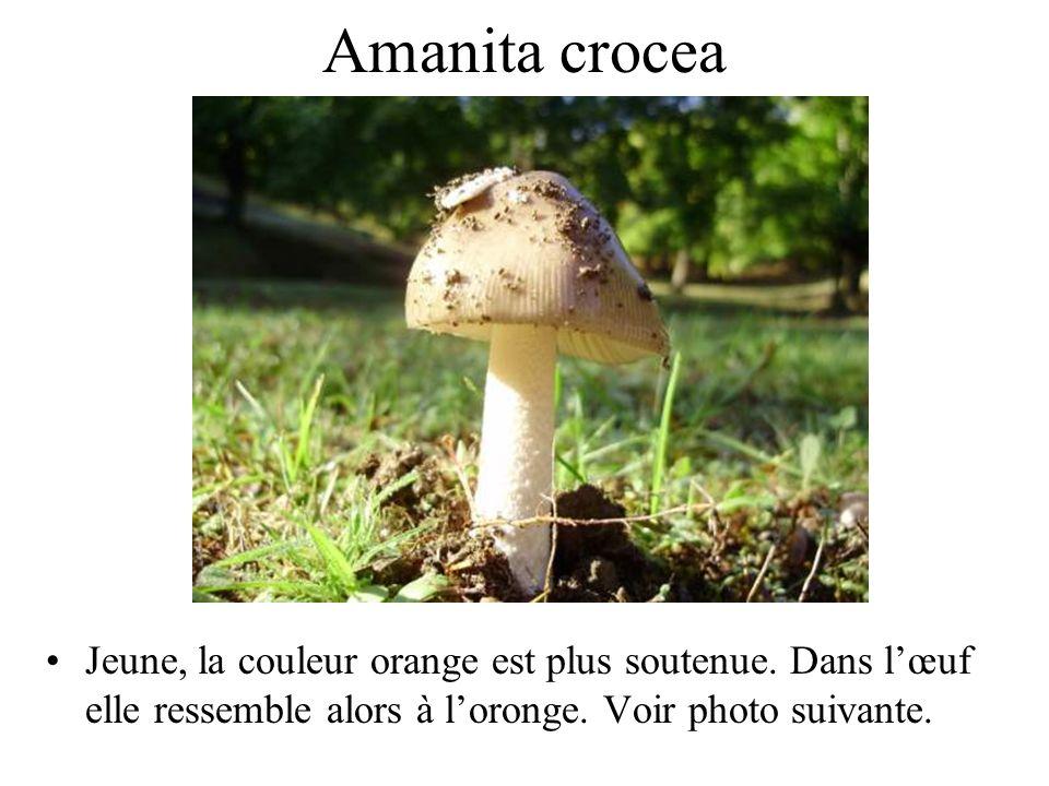 Amanita crocea Peu d'intérêt culinaire. Elle fait partie du groupe de amanita vaginata.