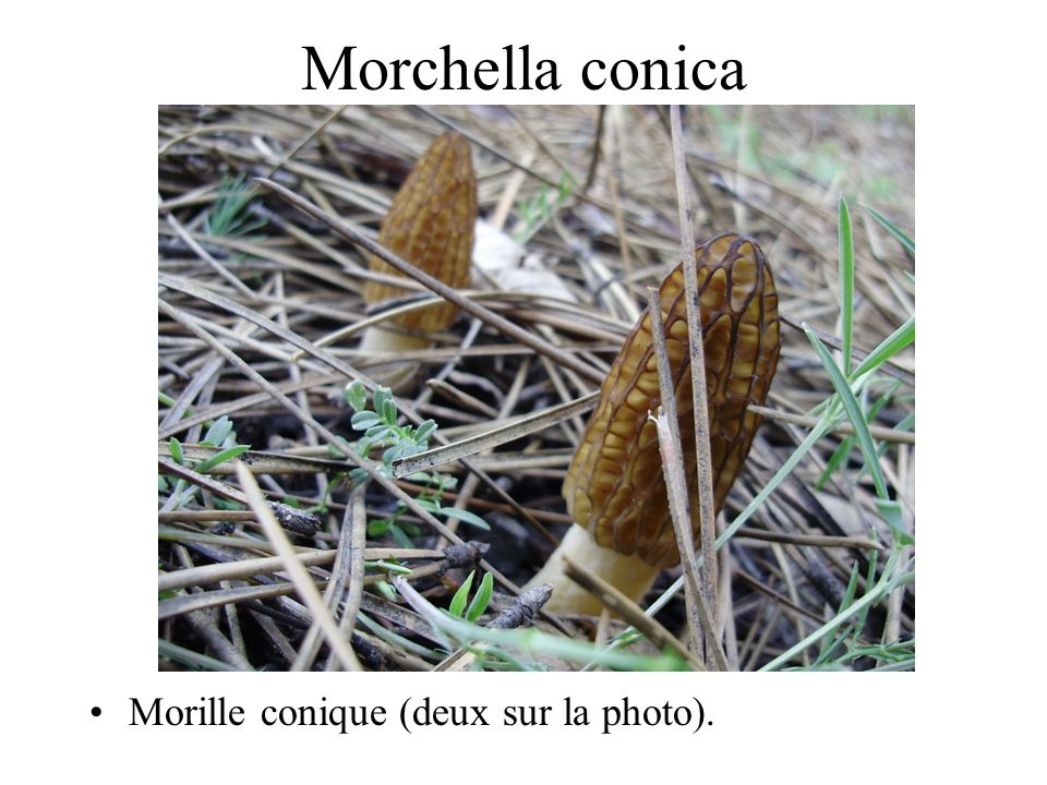 Morchella conica Morille conique (deux sur la photo).