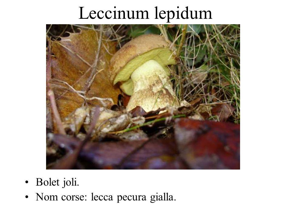 Leccinum lepidum Bolet joli. Nom corse: lecca pecura gialla.