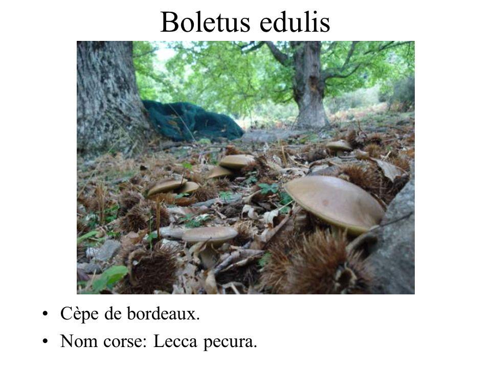 Boletus edulis Cèpe de bordeaux. Nom corse: Lecca pecura.
