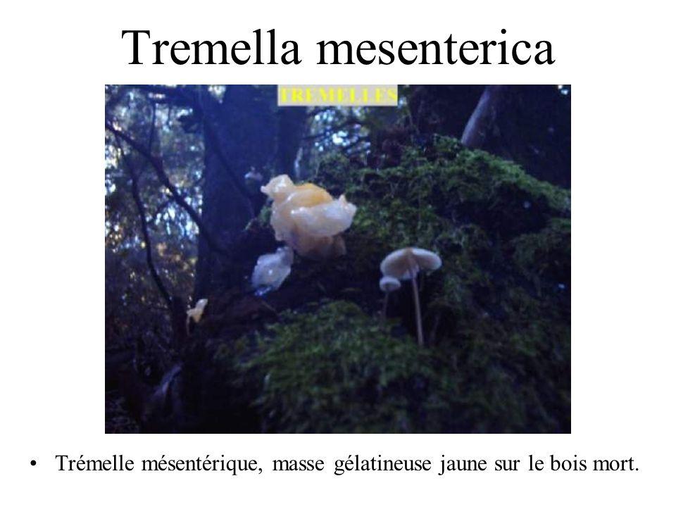 Tremella mesenterica Guère d'intérêt gustatif. Néanmoins elle contient une substance qui est utilisée en cosmétique pour la protection de la peau.