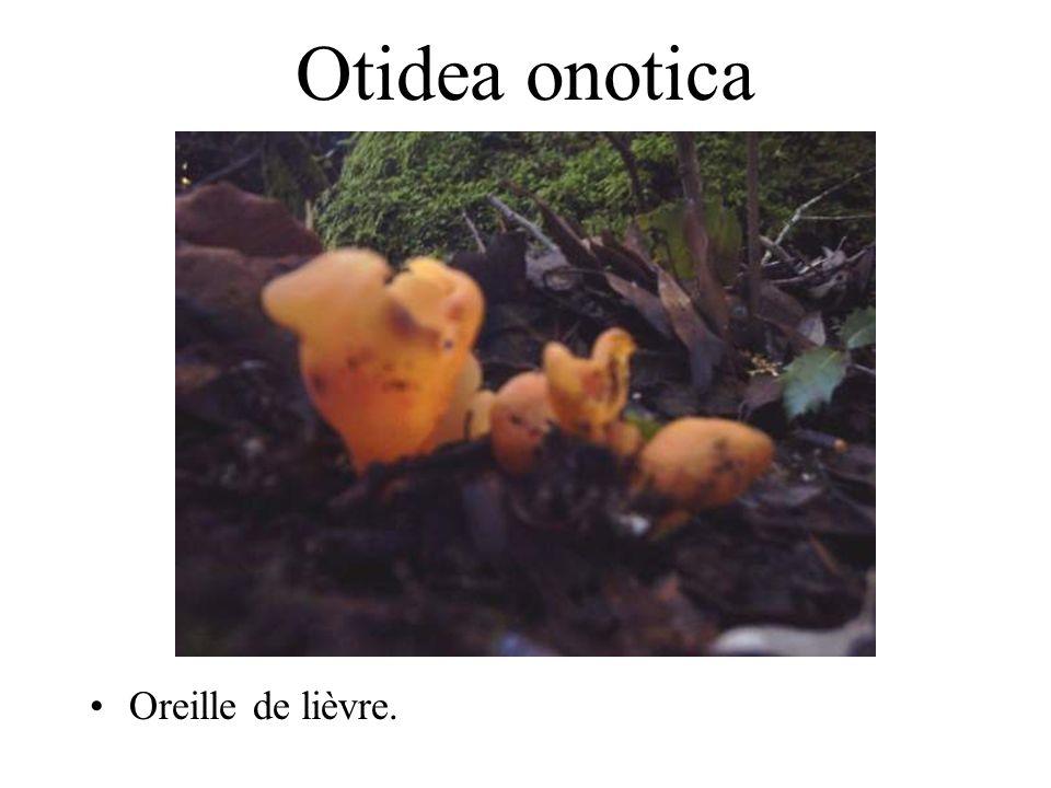 Otidea onotica Oreille de lièvre.