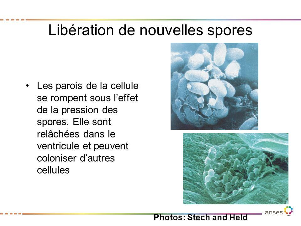 Libération de nouvelles spores