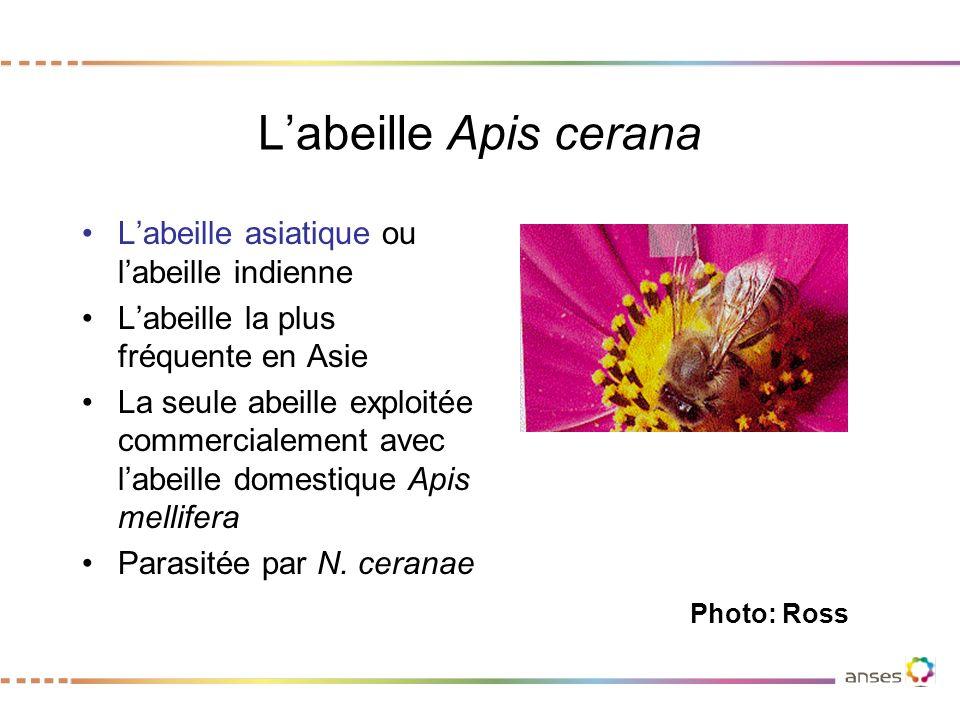 L'abeille Apis cerana L'abeille asiatique ou l'abeille indienne