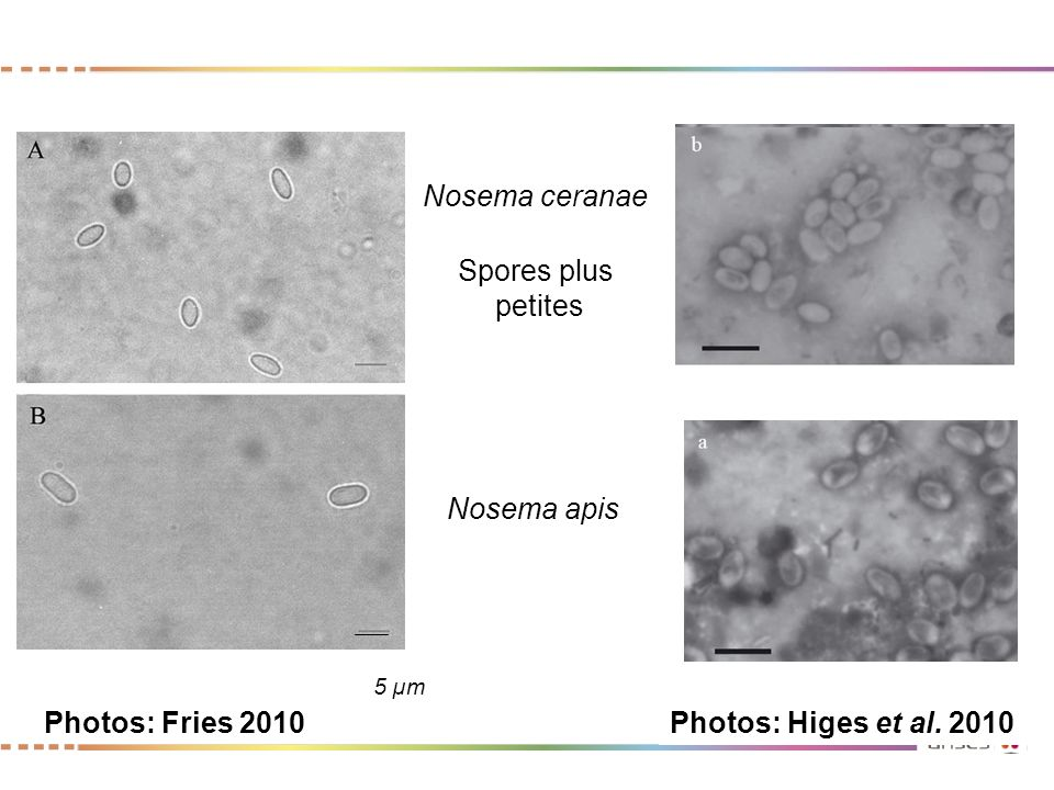Nosema ceranae Spores plus petites Nosema apis Photos: Fries 2010
