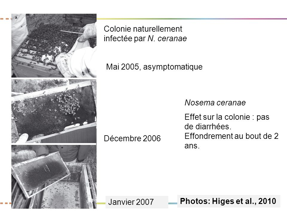 Colonie naturellement infectée par N. ceranae