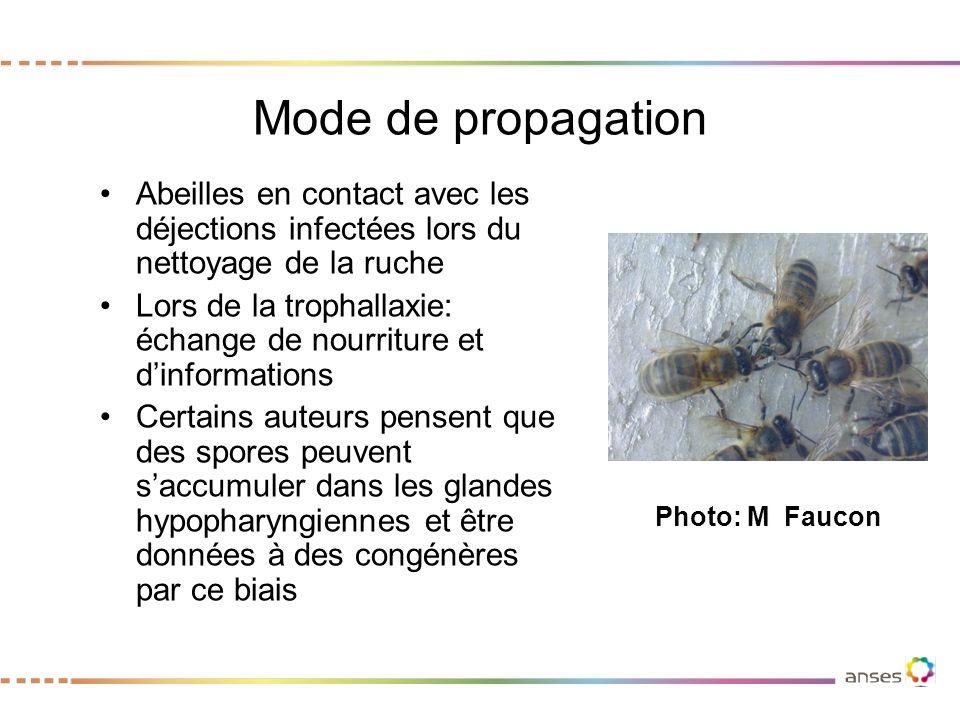 Mode de propagation Abeilles en contact avec les déjections infectées lors du nettoyage de la ruche.