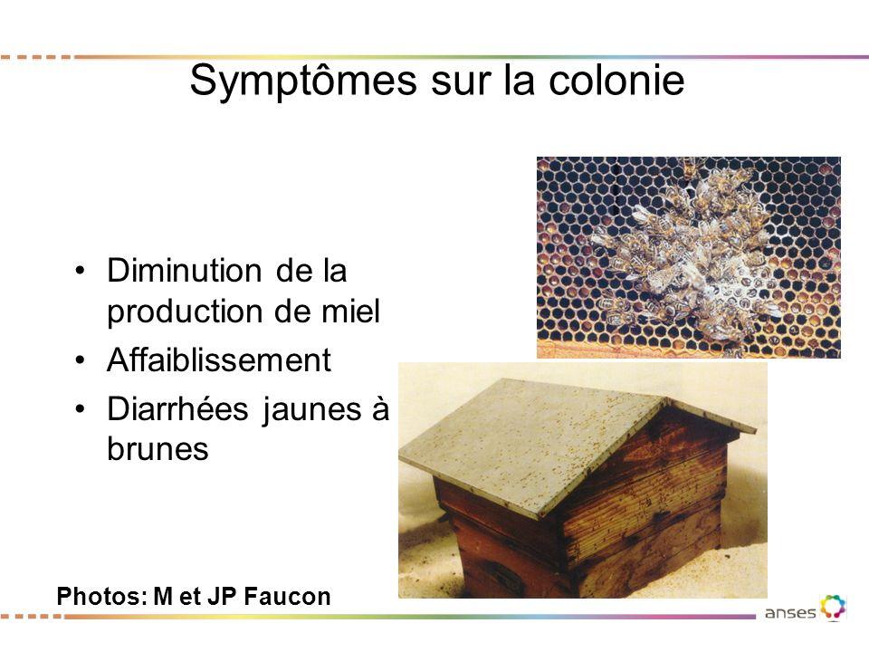 Symptômes sur la colonie