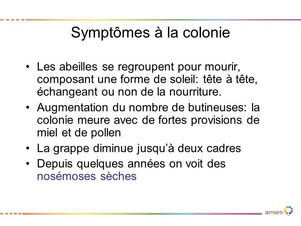 Symptômes à la colonie Les abeilles se regroupent pour mourir, composant une forme de soleil: tête à tête, échangeant ou non de la nourriture.