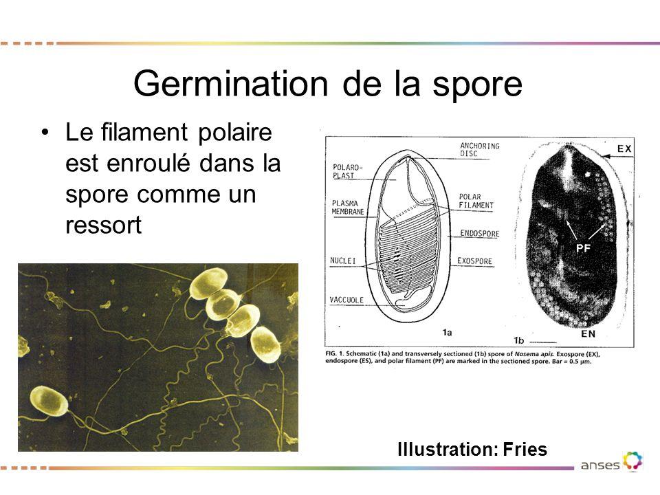 Germination de la spore