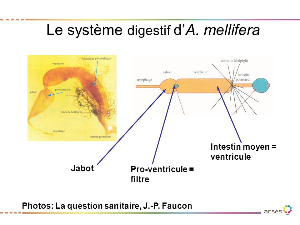 Le système digestif d'A. mellifera