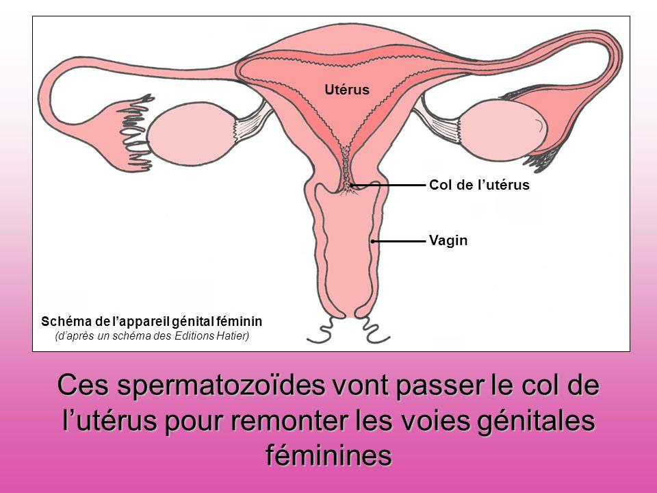 Col de l'utérusVagin. Utérus. Schéma de l'appareil génital féminin. (d'après un schéma des Editions Hatier)