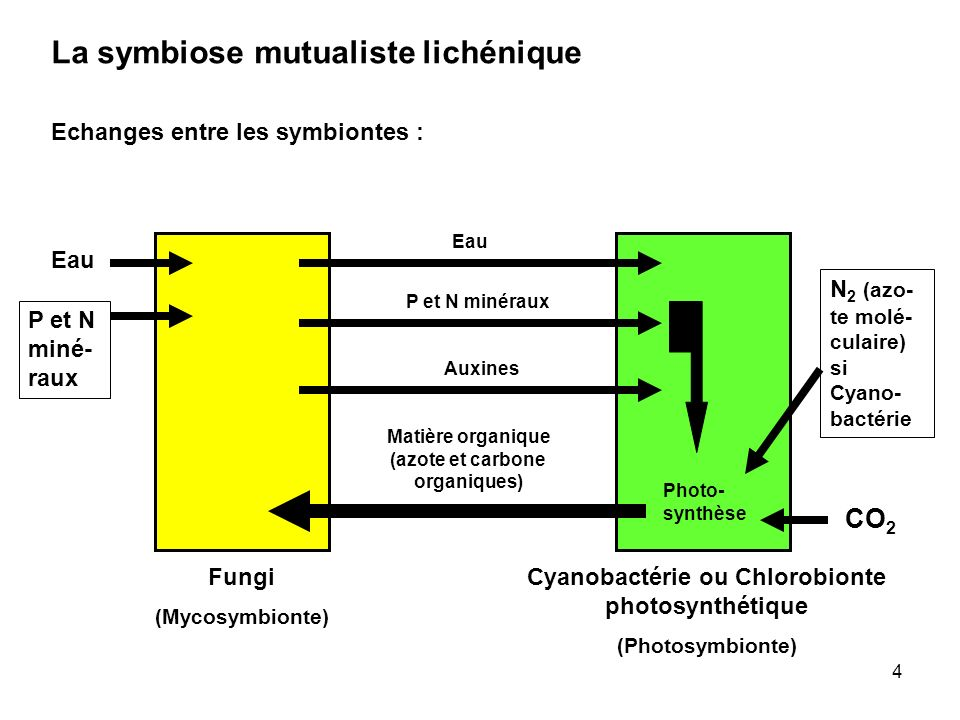La symbiose mutualiste lichénique