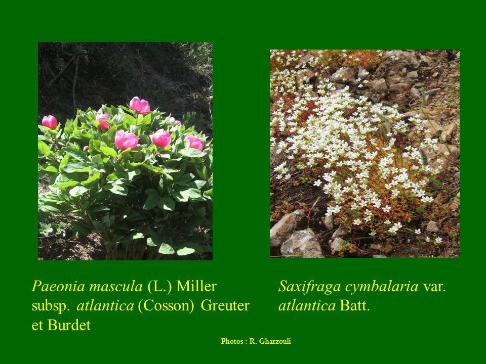 Saxifraga cymbalaria var. atlantica Batt.
