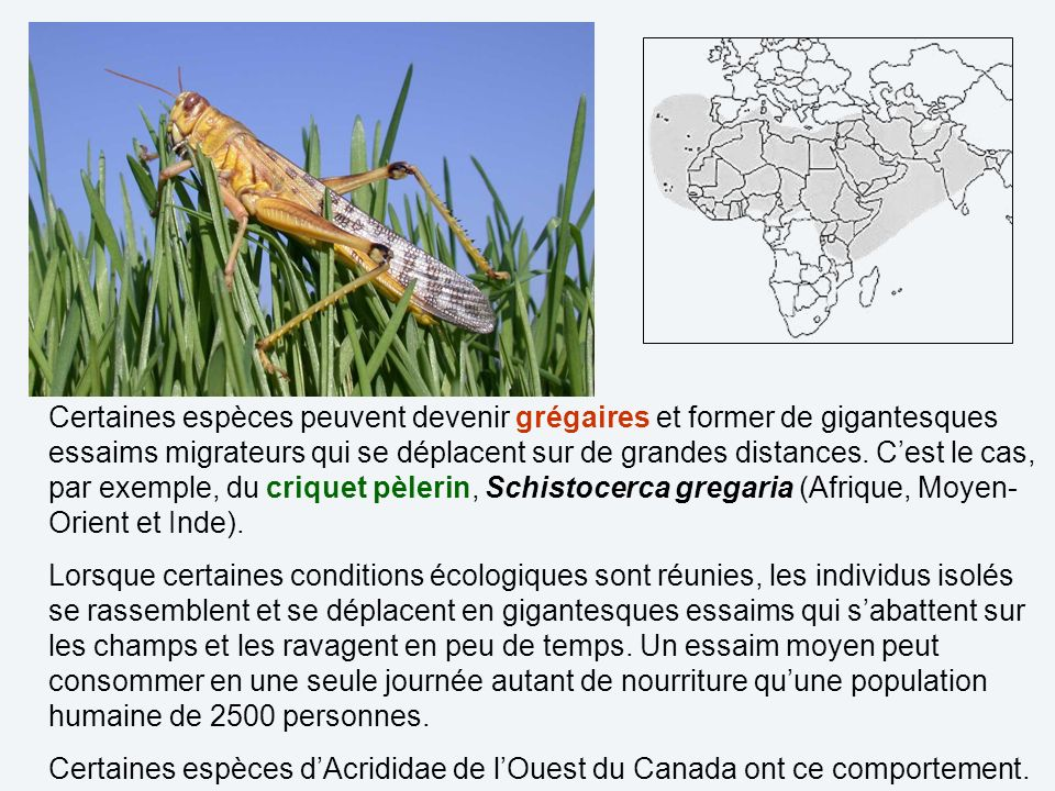 Certaines espèces peuvent devenir grégaires et former de gigantesques essaims migrateurs qui se déplacent sur de grandes distances. C'est le cas, par exemple, du criquet pèlerin, Schistocerca gregaria (Afrique, Moyen-Orient et Inde).