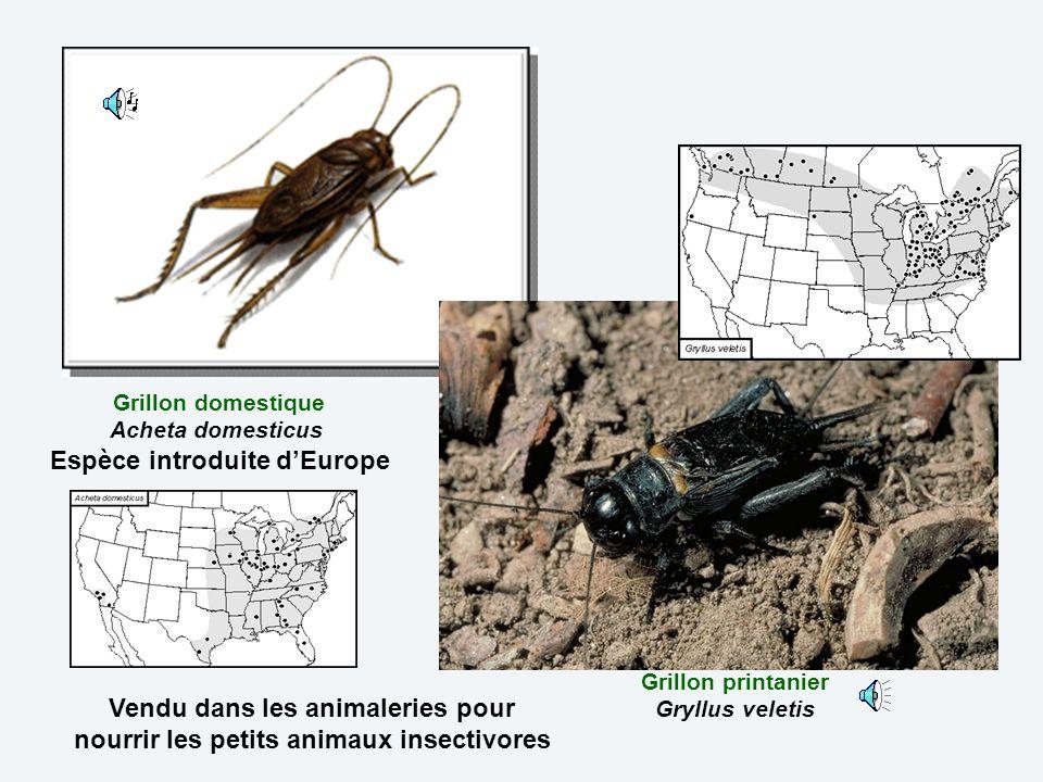 Grillon domestique Acheta domesticus Espèce introduite d'Europe