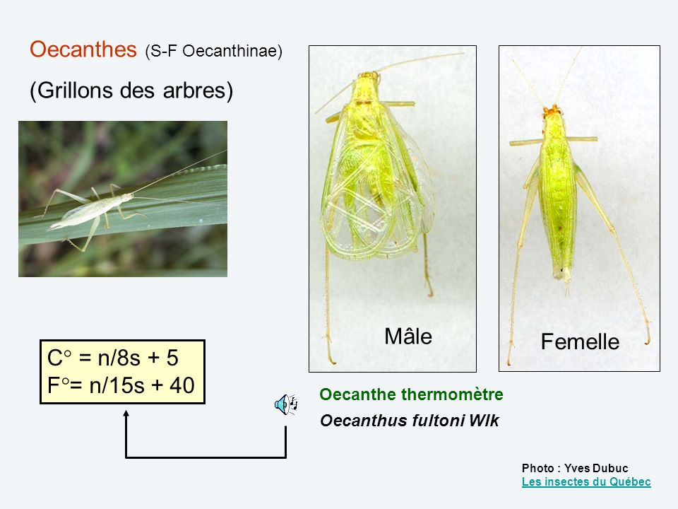 Oecanthes (S-F Oecanthinae) (Grillons des arbres)
