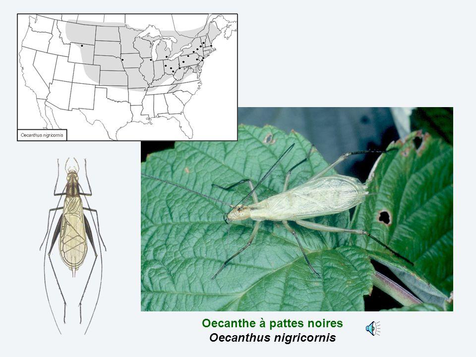 Oecanthe à pattes noires Oecanthus nigricornis