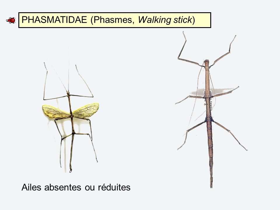 PHASMATIDAE (Phasmes, Walking stick)