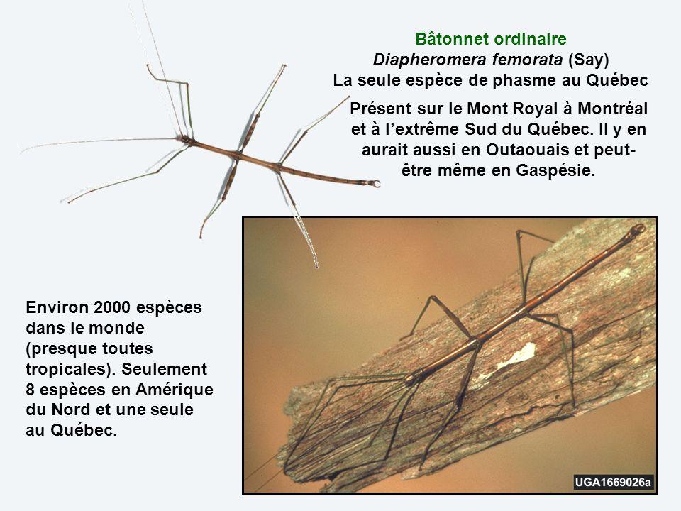 Bâtonnet ordinaire Diapheromera femorata (Say) La seule espèce de phasme au Québec