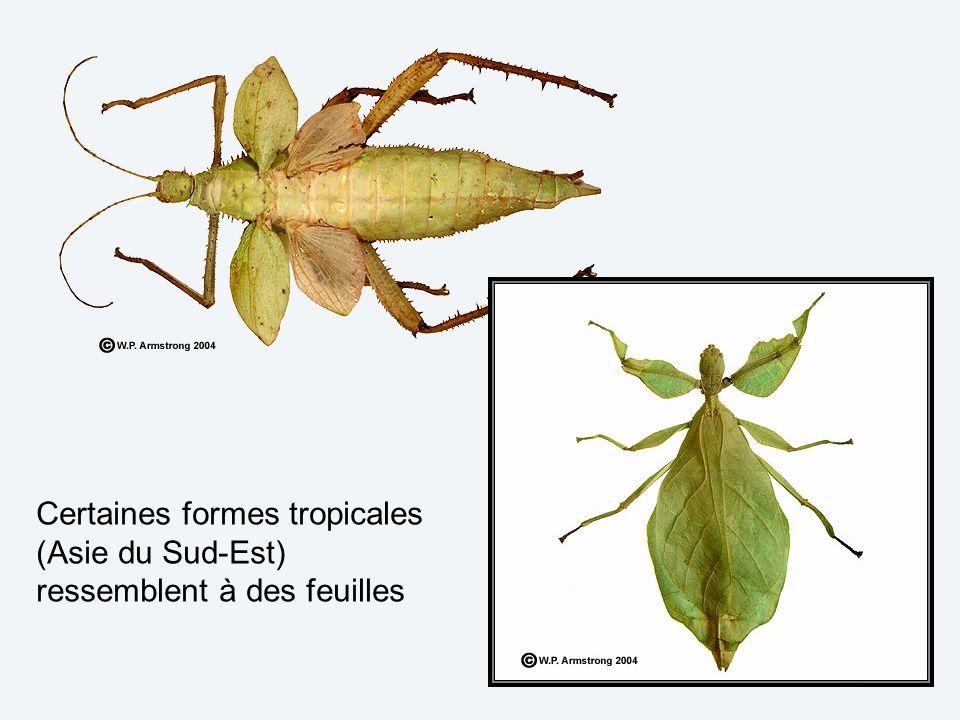 Certaines formes tropicales (Asie du Sud-Est) ressemblent à des feuilles