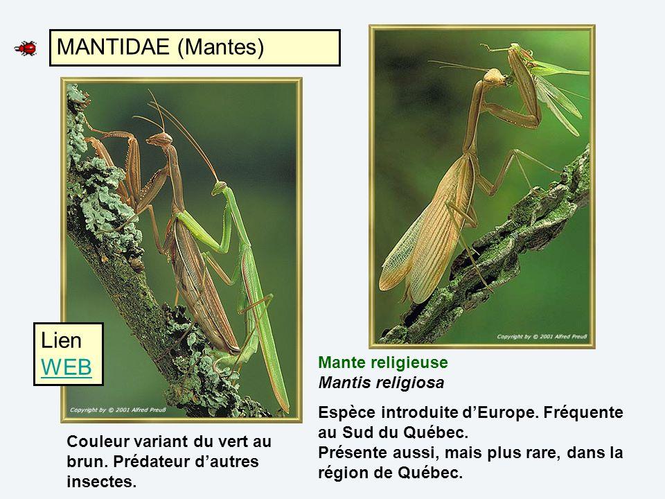 MANTIDAE (Mantes) Lien WEB Mante religieuse Mantis religiosa