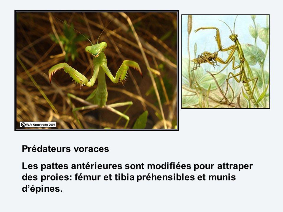 Prédateurs voraces Les pattes antérieures sont modifiées pour attraper des proies: fémur et tibia préhensibles et munis d'épines.
